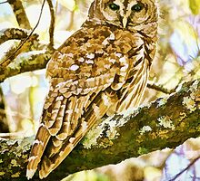 Barred Owl in Fall by jkgiarratano