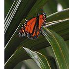 Butterfly by aussiecandice