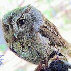 Eastern Screech Owl Resting by jkgiarratano
