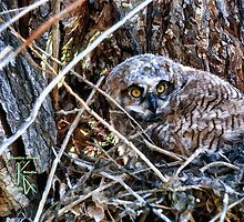 Great Horned Owl Resting by jkgiarratano