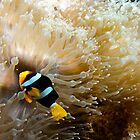 Clown fish in anemone, Similan Islands, Thailand by Emma M Birdsey