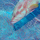 Coral trout and seafan by Emma M Birdsey