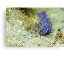 Purple dragon sea slug Canvas Print