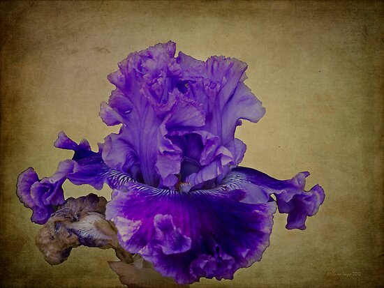 Frilly Iris #2 by Elaine Teague