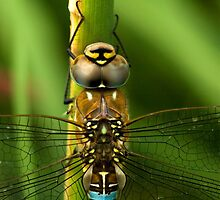 Common Hawker Dragonfly by Kawka