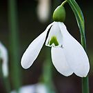 Single Snowdrop by vivsworld