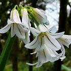 Wild Garlic by Susie Peek