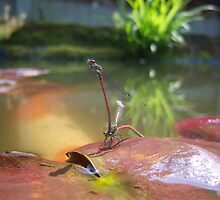 Damsel fly mating by Connor Bartlett