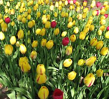Random Mixture - Tulips in the Keukenhof by kathrynsgallery