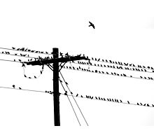 Birds Gather on a Telephone Pole Photographic Print