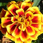Red and Yellow Flower by TCbyT