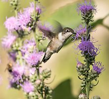 Ruby-throated Hummingbird 13-2015 by Thomas Young