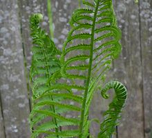 Ferns against a Fence by TCbyT