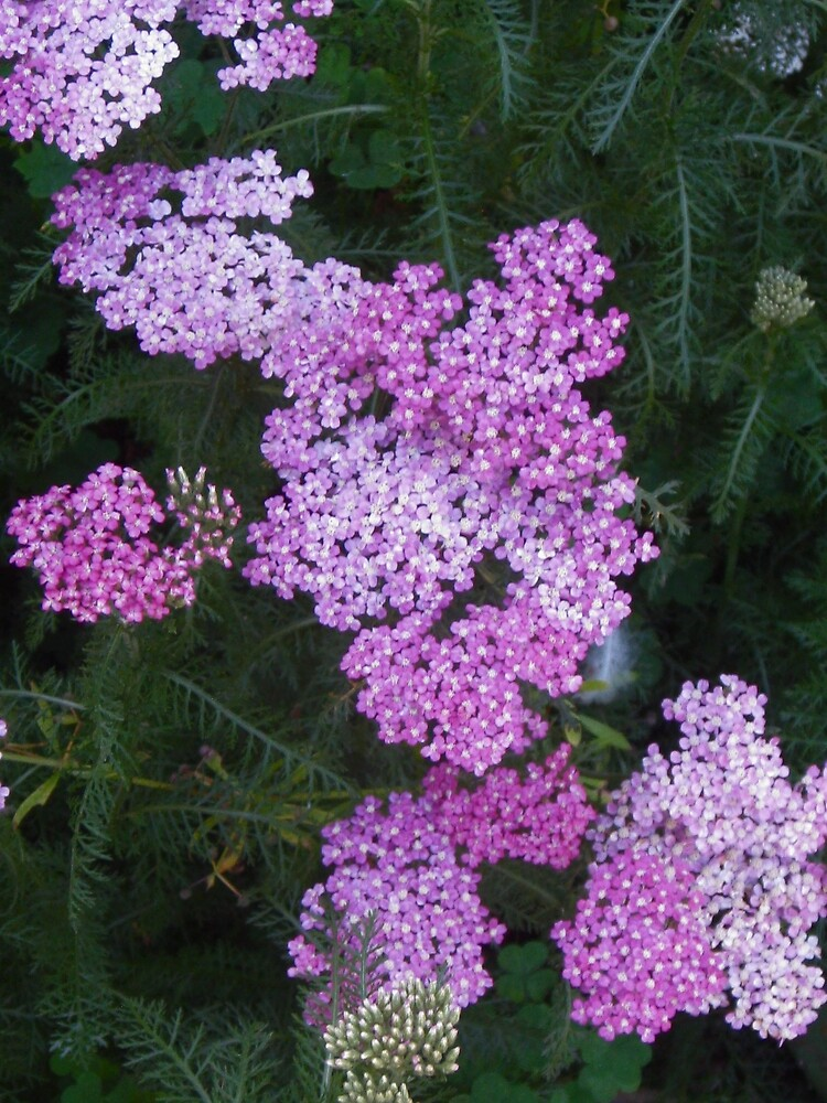 Pink and White Small Flowers by TCbyT
