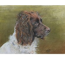 Spaniel working in the field Photographic Print