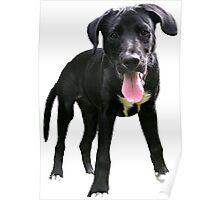 Cute labrador retriever Poster