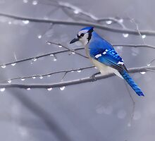 BLUE JAY IN THE RAIN by TOM YORK