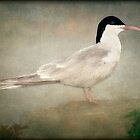 PORTRAIT OF A TERN by TOM YORK