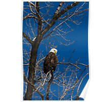 American Bald Eagle 3 Poster