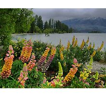 Lupin Colour at the Wanaka Tree ( 3 Photographic Print