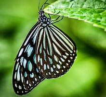 Blue Butter fly 2 by robyn70