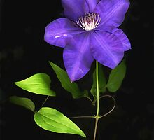 Purple Clematis by Barbara Wyeth
