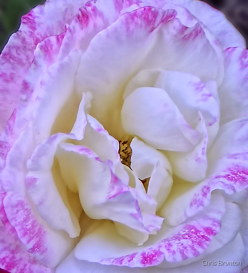 Magenta Beauty by Chris Brunton