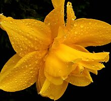 Daffodil after a Shower of Rain by AnnDixon