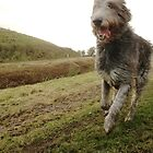 Running Irish Wolfhound by Mandy Fransz