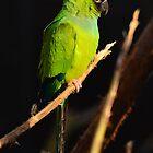Nanday Parakeet by Jacqueline van Zetten