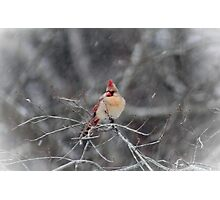Female Cardinal in the Snow Photographic Print