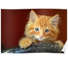 Ginger Kitten Poster