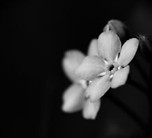 Forget-Me-Nots 10 B&W by photonista
