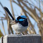 Superb Fairy Wren by ashercobb