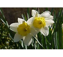 Daffodil Pair Photographic Print