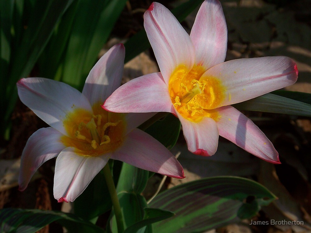 Tulipa 'Heart's Delight' by James Brotherton