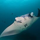 Manta In Flight by MattTworkowski