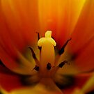 Tulip - inside 1 by Ronny Falkenstein