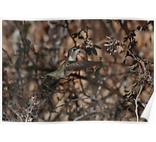 Hummingbird Nest Building Poster