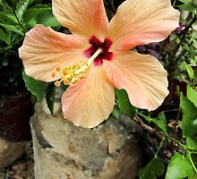 Hibiscus Cairo by Albert