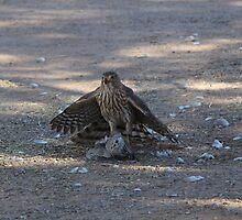 Sharp Shinned Hawk by InnerSees