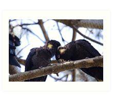 Black cockatoos, Centennial Park, Sydney Australia Art Print
