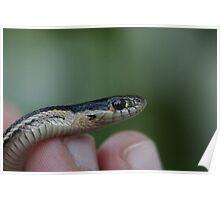 Newly Hatched Garter Snake Poster