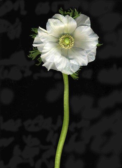 Single White Ranuncula by Barbara Wyeth