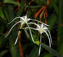 Spider Lily  by InnerSees