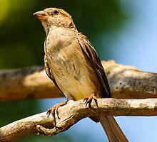 House Sparrow by Steve Randall