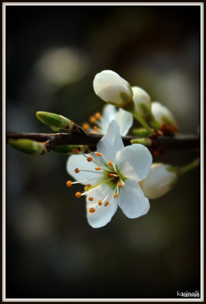 Blackthorn Bloom by karina5