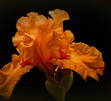 Apricot Iris #2 by Elaine Teague