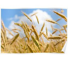 Wheat field on a sunny day Poster