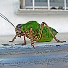 Katydid by taiche